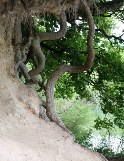 Baumlegende